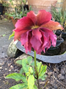 Phenomenon: I don't buy double hellebores - can this be a natural cross, or have I forgotten a generous present from someone?