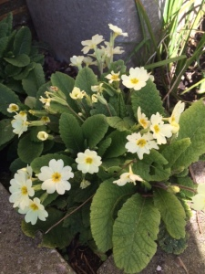 Primroses: another cheering sign of spring
