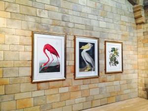 The Audubon plates: image courtesy of NHM Library