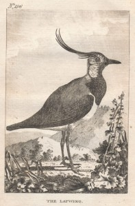 The lapwing, from Smellie's English translation of Buffon