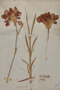 A specimen of Fairchild's mule in the Oxford University Herbaria