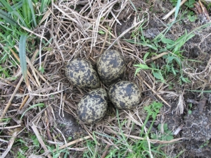 A lapwing nest. This image is from the RSPB blog: on Otmoor, lapwings are called 'horywinks'