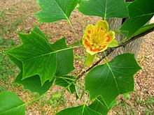 Branch of the tulip tree