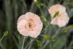 Dianthus (Allwood Group) 'Tequila Sunrise' from Whetman Pinks