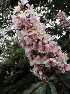 Inflorescence of Aesculus indica.