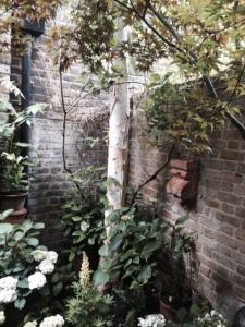 A flourishing Betula jacquemontii