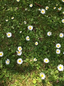 There are daisies all over the grass paths and edges