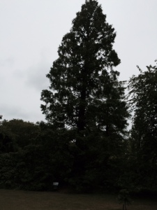 The dawn redwood's profile against the sky.