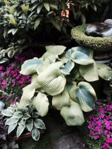 Hostas were a feature in several gardens...