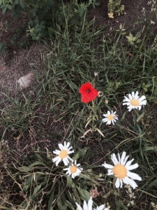 Ox-eyed daisies and poppy