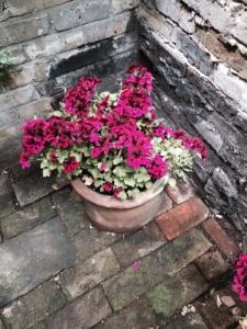 Two pelargoniums.