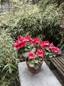 Regal pelargonium and bamboo
