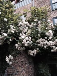 Rose 'Félicitéet Perpetue'