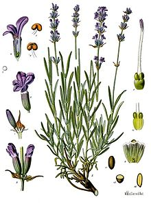... and Lavandula angustifolia. Which (if either) is spikenard?