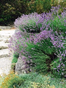 Lavender in the alpine garden.