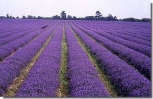 The fields of the Norfolk Lavender Company.