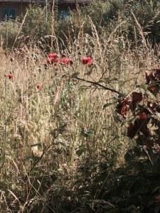 Lovely, double, dark-pink poppies in this inadvertent 'wild garden'.