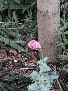 A solitary pink poppy near the Hills Road gate.