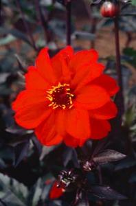 Dahlia 'Bishop of Llandaff'. Credit: Royal Horticultural Society.