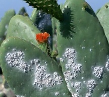 cochineal_insects