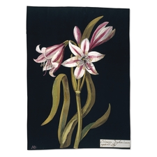 Mrs Delany's paper collage of Crinum Zeylanicum. Credit: The British Museum.