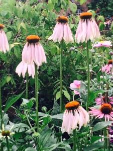 Echinacea cones