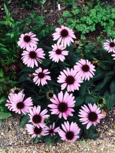 Echinacea light pink