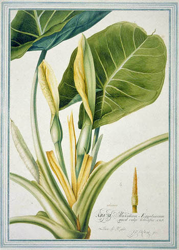 Ehret's taro plant, Colocasia esculenta, bursting from its frame' © The Trustees of the Natural History Museum, London