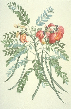 Sesbania coccinea, plate 598 from Banks' 'Florilegium'