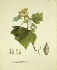 Liriodendron, the tulip tree, from Plantae Selectae.