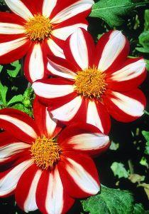 Dahlia 'Union Jack', bred in the 1880s.