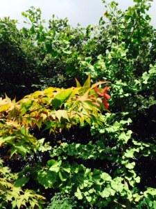 Acer palmatum 'Osakazuki'.