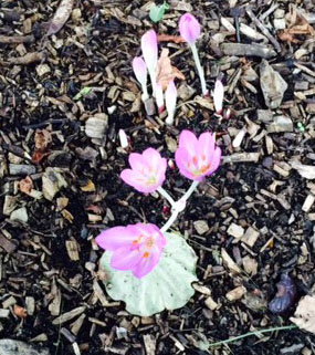 Colchicum, autumn crocus.