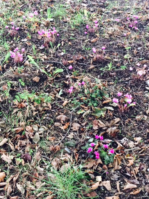 There were a couple of cyclamen showing under the trees at the beginning of autumn: now there are masses.