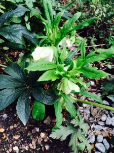 A surprisingly early flowering hellebore.