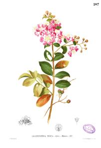 Lagerstromeria indica.