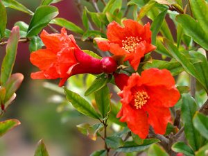 Pomegranate flowers.