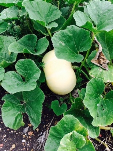 A pumpkin in the systematic beds.