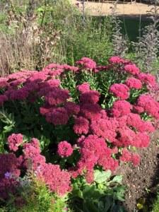 Red sedum in Cambridge University Botamic Garden at the autumn equinox.