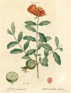 Pomegranate, by Redouté, 1809.