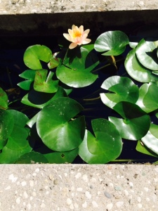 Waterlilies in the garden of Museo Querini Stampalia.