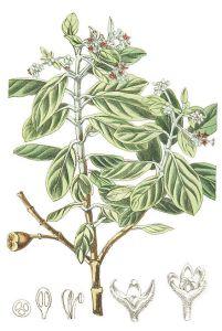 The St Helena olive, Nesiota elliptica.