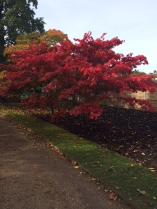 A gorgeous acer ...