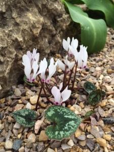 C. cyprium.