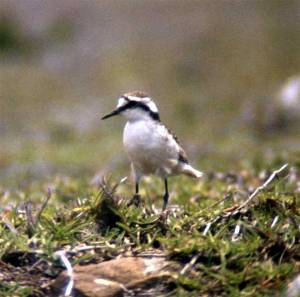 Charadrius sanctaehelenae, the wirebird or St helena plover, now critically endangered.
