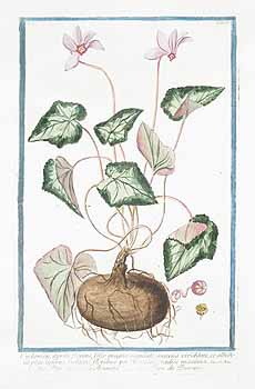 Bonelli's painting, showing the tuber and seeds as well as the leaves and flowers.