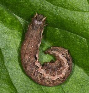 Gothic caterpillar Glamorgan Moth Recording Group