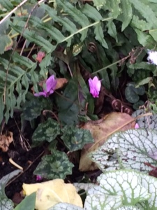 These cyclamen grow under the famous apple tree, a scion of Sir Isaac Newton's, in CUBG.