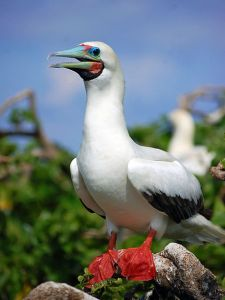 The red-footed booby, thriving in the Philippines (cf. its cousin, the blue-footed booby).
