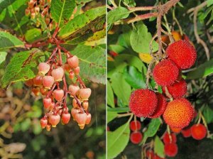 Arbutus unedo, the strawberry tree, showing both flowers and fruit.